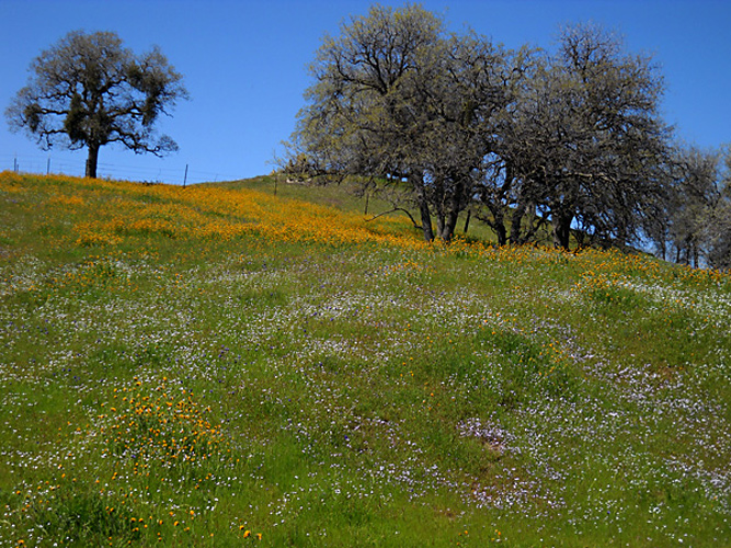 California Spring Wildflowers 2