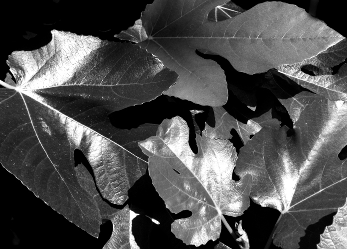 Fig Leaves B & W