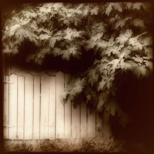 Fig Tree on the Fence