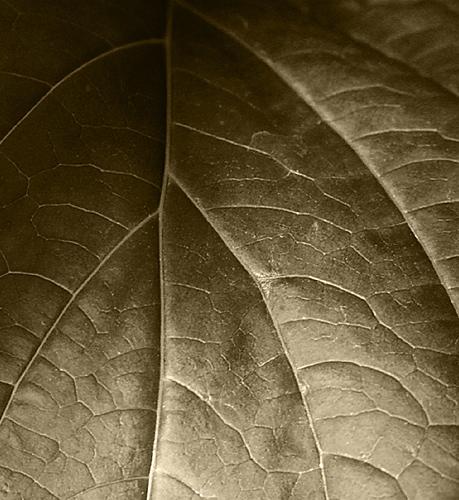 Hydrangea Leaf Detail