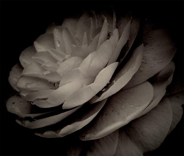 Camellia Soft B & W