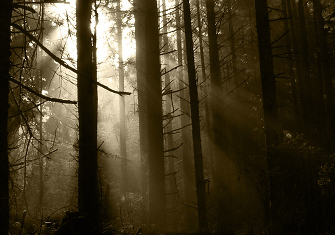 Foggy Forest Morning