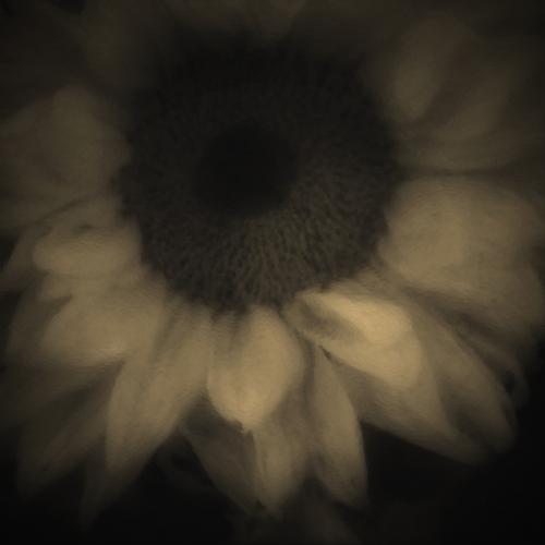 Sunflower - Soft & Lovely