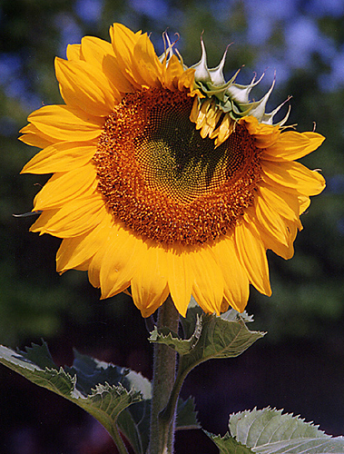 Sunflower Wink