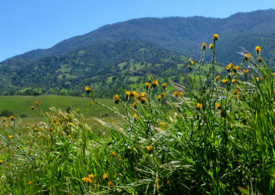 Fiddlenecks at Bear Mountain