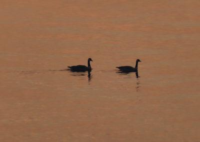 Geese on Folsom Lake