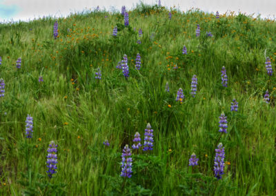 Lupines Near Caliente