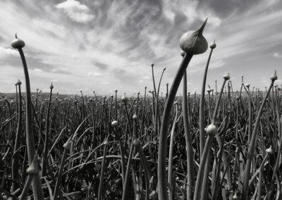 """Onion Field - 16""""x24"""""""