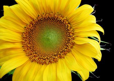 """Summer Sunflower - 24""""x32"""""""